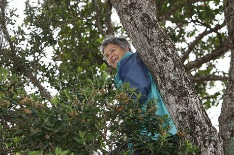 DEFIANT: Robyn Stokes sits in a pohutukawa tree scheduled to be chopped down.