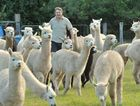 Palmwood's Jeff Willis will open his farm to the public on Sunday as part of National Alpaca Week.