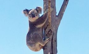SAYING HELLO: This koala was spotted at Wacol last week.