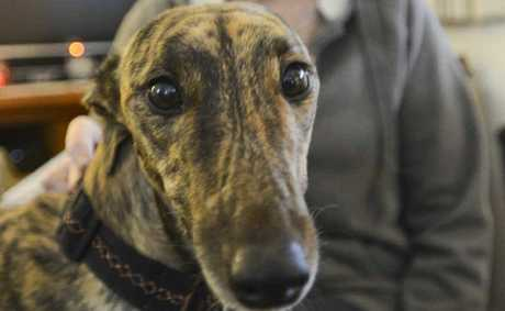 Two-year-old greyhound Jazzi was rescued and retrained by owner Bev Ryan.