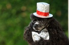 Willy Nelson Mackay is one of the poodles entering the Cooly Rocks Poodle Parade.