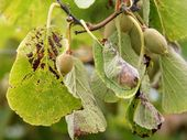 Kiwifruit Vine Health (KVH) has received a Psa-V positive test result on a male vine in an Enza Gold orchard in Kerikeri.