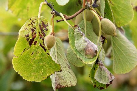 A Psa-V infected kiwifruit vine. File image.