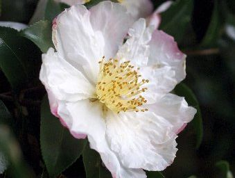 Prune camelias after they flower. 