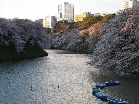 TAKE A STROLL: Late-afternoon sun catches the cherry blossoms on the banks of the Imperial Palace moat at Chidorigafuchi in Tokyo.