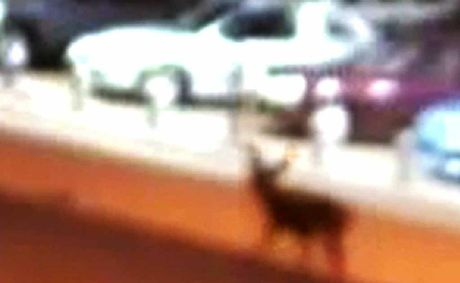 A deer caught by safe city camera footage at North Ipswich. Photo: Contributed