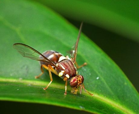 The Queensland fruit fly is considered Australia's most serious horticulture insect pest.
