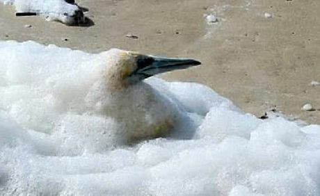 RESCUED: This gannet was found caught up in the foam at Lighthouse Beach last week.