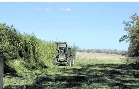 GROWING INDUSTRY: A harvest of hemp crops at Ashfield.Inset: Klara Marosszeky.