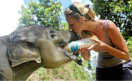 Amanda French in Sumatra with the baby elephant Bona, who she has campaigned to save.