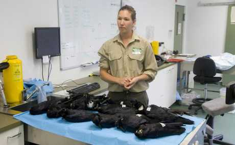 Vet nurse Patricia Swift with the dead crows at Currumbin Wildlife Sanctuary Hospital.
