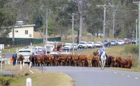 Thirty-one calves and thirty-nine cows were delivered to the Grafton Saleyard overnight and somehow escaped and went for a stroll some two kilometres south along Armidale Rd to Elland.