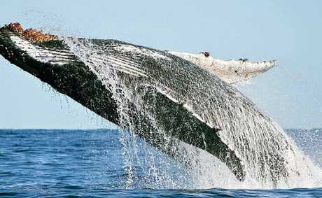 Crabber Richard Freeman took these magnificent photos as a pod of whales cavorted around his boat. I was lucky enough to capture several breach shots, this is one of them, Mr Freeman said.