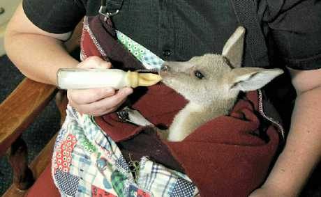 Wildlife rescuer Kayren Chapman feeds 10-month-old Nipper, who was rescued after his mother died.