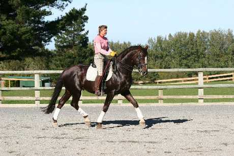 STRIDING OUT: Jutta Rosenblatt puts young Hanoverian stallion Worldwide PB through his early paces at Vollrath Stud in Wanganui. PHOTO/SUPPLIED