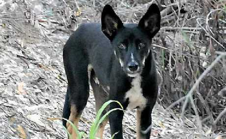 IN THE FIRING LINE: Wild dogs like this one will be easier for landholders to get rid of thanks to baiting rule changes.