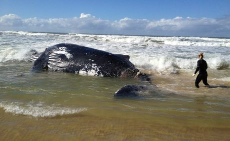The humpback whale beached at Hungry Head south of Urunga overnight.