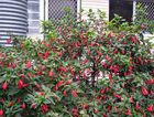 Malvaviscus arboreus or Turk's cap is great under trees to add some colour.