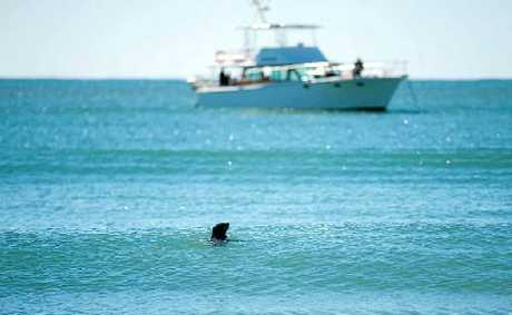 A young seal plays off the southern end of Mooloolaba Beach.