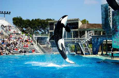 CORKER ORCA: A visit to SeaWorld - where you'll see Shama, the theme park's latest killer whale, perform - will spellbind children.