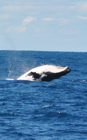 AMAZING SIGHT: A humpback whale breaches off the Gold Coast on Saturday, July 28.