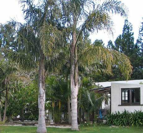 Off with their heads could be the verdict for these queen palms (left), which have well outgrown the house; above, austerity gardens followed the palms boom, with plants appearing only as a last resort.