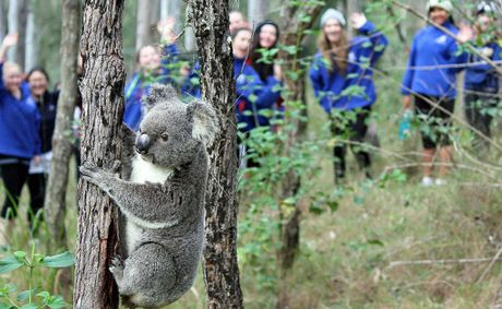This koala caused excitement for Brisbane Girls Grammar students.