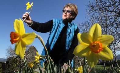 Katikati woman Claudia Diggelmann grows daffodils for the Cancer Society but has struggled this year after huge amounts of rain in the region.