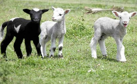 TESTING TIMES: Sheep producers can DNA-test their breeding stock.