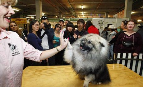 Meryl Davison high fives with her keeshond Aussie, who was a runner-up at the Ekka on Wednesday.
