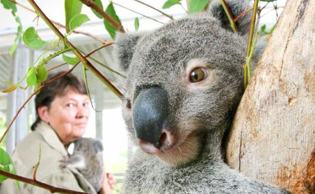 Helen Darbellay urges people to not forget about the hundreds of koalas orphaned each year. She is holding Zara while Wills looks on. 