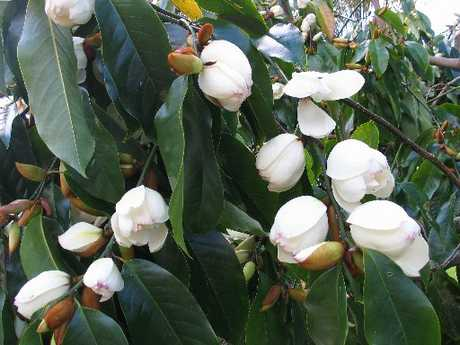 Despite a machete attack, Magnolia Bubble has thrived in the endless wet winter and delivered masses of blooms.