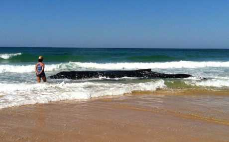 A 10.2 metre humpback whale is stranded in the shallow surf on Sandon Beach. The animal clings to life but National Parks rangers don&#39;t believe it has long to live. The animals deteriorating condition makes a rescue effort impossible.