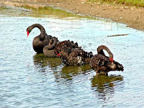 Black swans are destroying seagrass, it has been revealed.