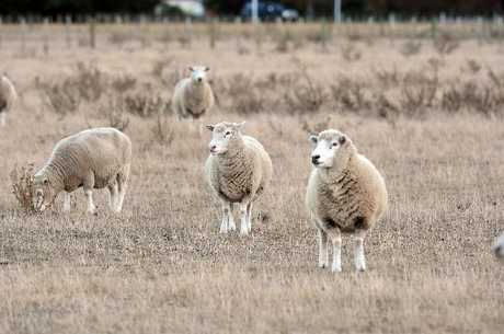 Sheep in drought conditions in Takapau in 2010. FILE