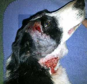 VICIOUS ATTACK: 16-month-old border collie, Missy, is lucky to be alive after she was attacked and suffered severe puncture wounds to her neck and head.