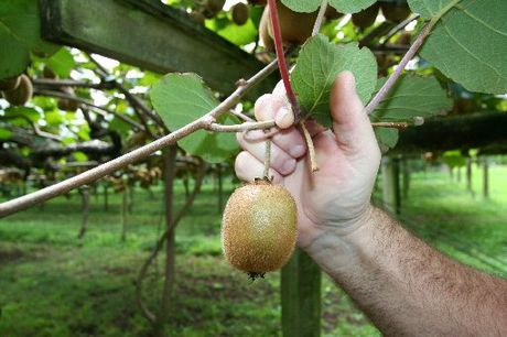 The kiwifruit industry accounts for about 25 per cent of the Western Bay region's Gross Domestic Product.