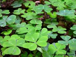 Clover can be a pest that is easily remedied.