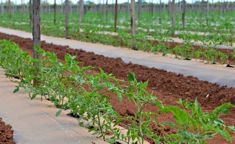 DRY AUGUST: A Bundaberg tomato farm.