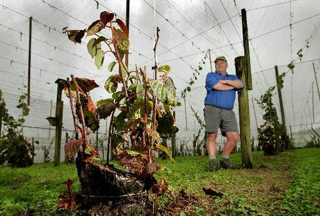Kiwifruit grower Peter West, of Te Puke, is one of many people in the kiwifruit industry hit by the devastating vine disease Psa.