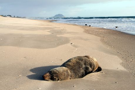 Baby seal on beach at Papamoa.
