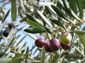 I missed The Great Olive Growing Trend. Oh I knew it was happening, but back then I couldn&#39;t see the point of growing a few spindly trees to provide fruit that would require complicated and time-consuming processing to deliver something that might be edible, but might not.