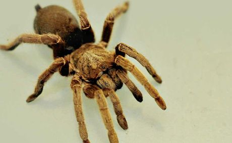 Boylans' pet of the month is a bird-eating spider.