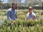 The DEEDI Leslie Research Centre is celebrating it's 50th anniversary of conducting research including developing new Crown Rot disease-resistant wheat lines last year by plant pathologists Damian Herde and Cassie Percy. Photo Laura Hunt.