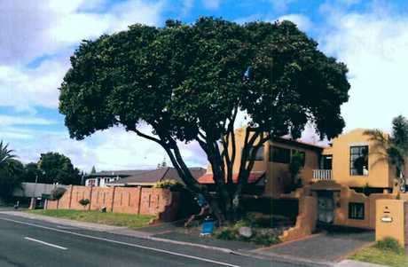 This Pohutukawa tree on Oceanbeach Rd could be cut down.