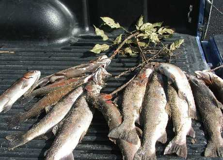 CAUGHT: Trout were seized after Fish & Game officers caught poachers at the weekend.