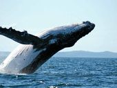 IMAGINE swimming in open ocean as 16-metre, 36-tonne humpback giants rise out of the depths.