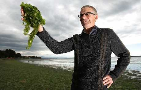 Bay of Plenty Tauranga Harbour programme co-ordinator Bruce Gardner is looking forward to green thumbs taking care of Tauranga's green mess, as part of a trial to explore the different disposal options of sea lettuce.