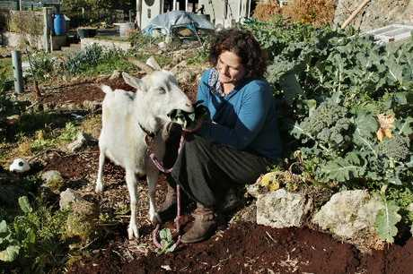 Janet Luke's goats give her milk, her rabbits give her meat and her chickens eggs. Photo / Warren Buckland