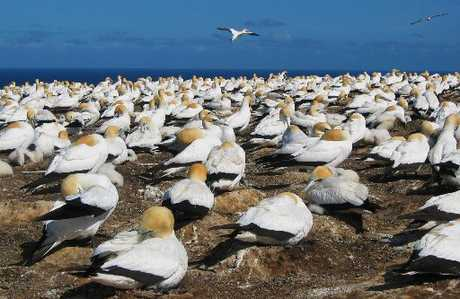 Researchers have discovered that gannets have particularly adaptable vision. Photo / File